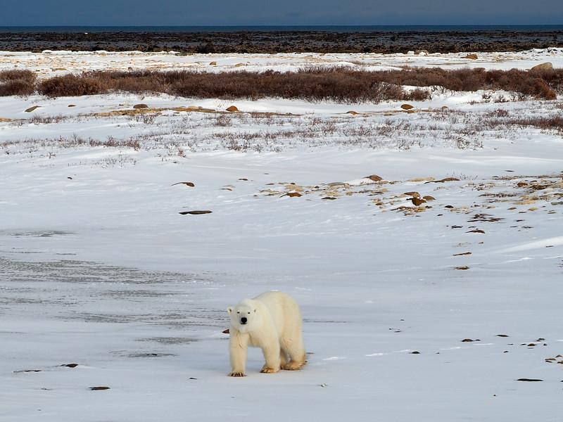 Polar bear on the tundra in Manitoba