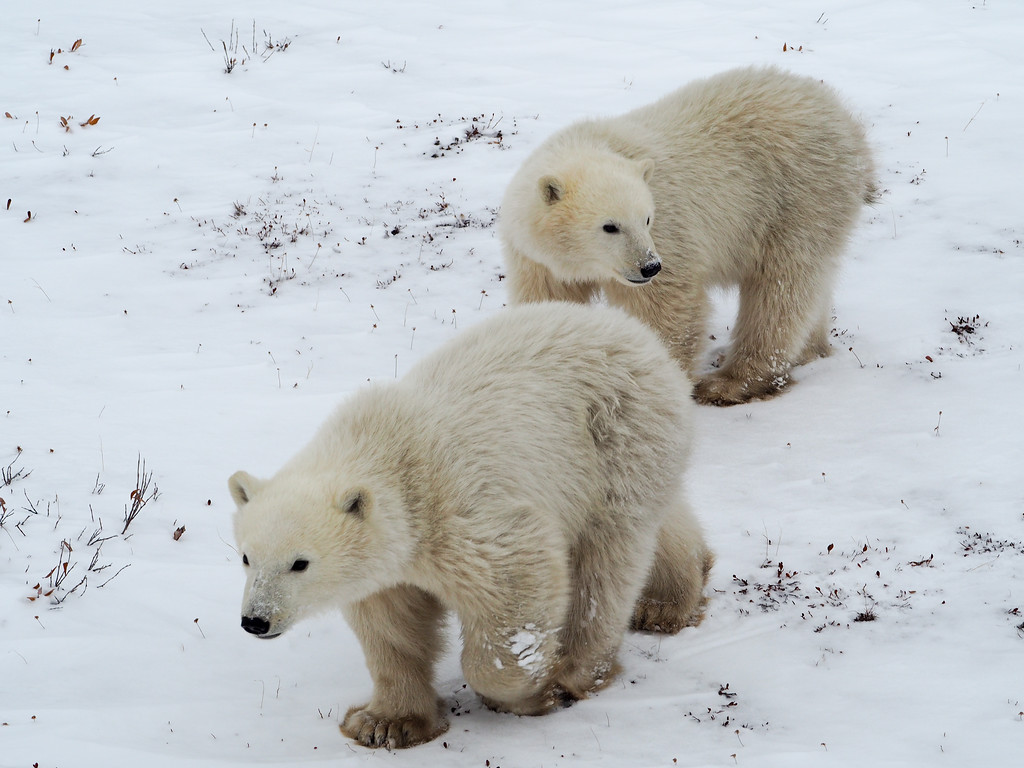 Twin polar bear cubs in Manitoba