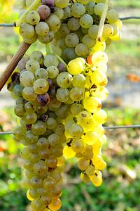 Vidal Gapes on the vine