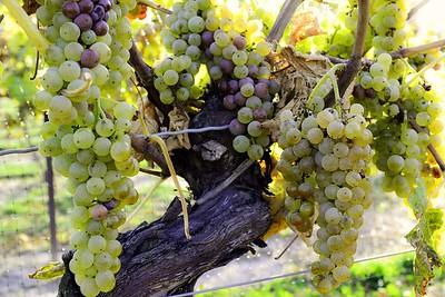 Vidal grapes at Inniskillin Winery