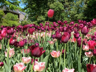 International Tulip Festival in Ottawa