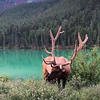 Elk by the Yellowhead highway.