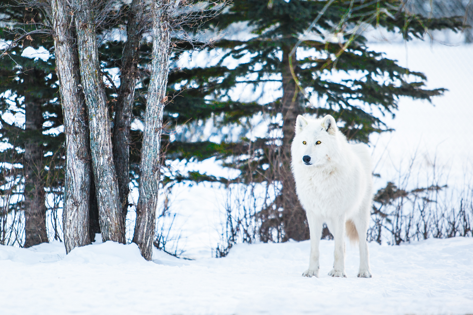Don't miss the Yamnuska Wolfdog Sanctuary Banff Canada