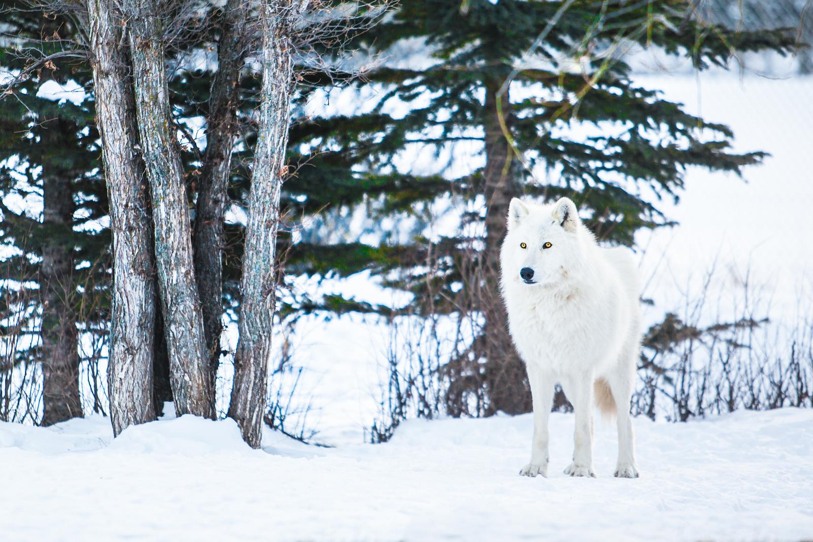 Yamnuska Wolfdog Sanctuary in Alberta