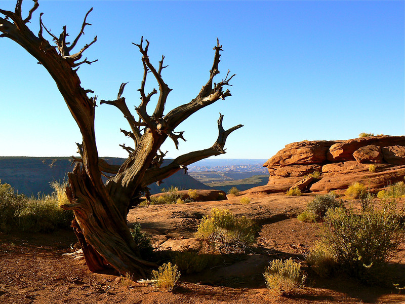 Skeleton of a tree stands out against the blue sky and red rock formations of Canyonlands National Park.