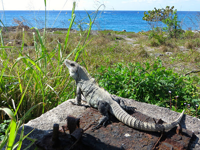Iguana in Cozumel, Mexico