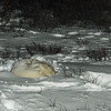 This is a view from a guest room of two polar bears sleeping outside the  lodge.