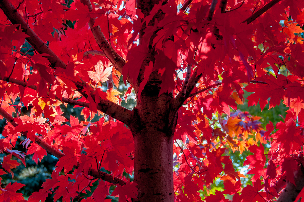 Maple Tree Turning Color in Aspen, Colorado