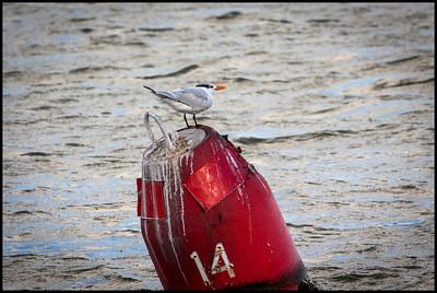 Royal tern, Florida Bay