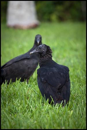 Black turkey vultures, Anhinga trail car park, Everglades