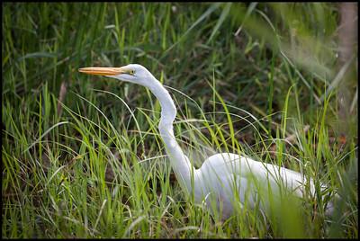 Great white heron, Anhinga trail, Everglades