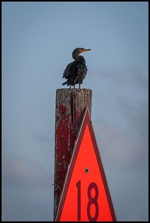 Cormorant, Florida Bay
