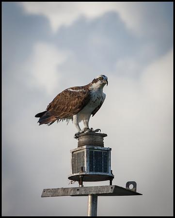 Osprey, Florida Bay