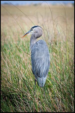 Great blue heron, Anhinga trail, Everglades