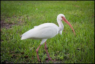 White ibis, White City park