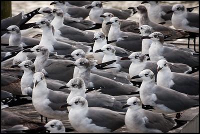 Laughing gulls at Flamingo docks