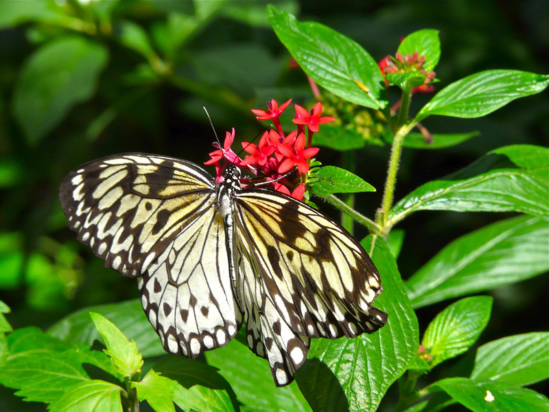 Butterfly rests on a leaf at the Butterfly Rainforest in Gainesville, Florida