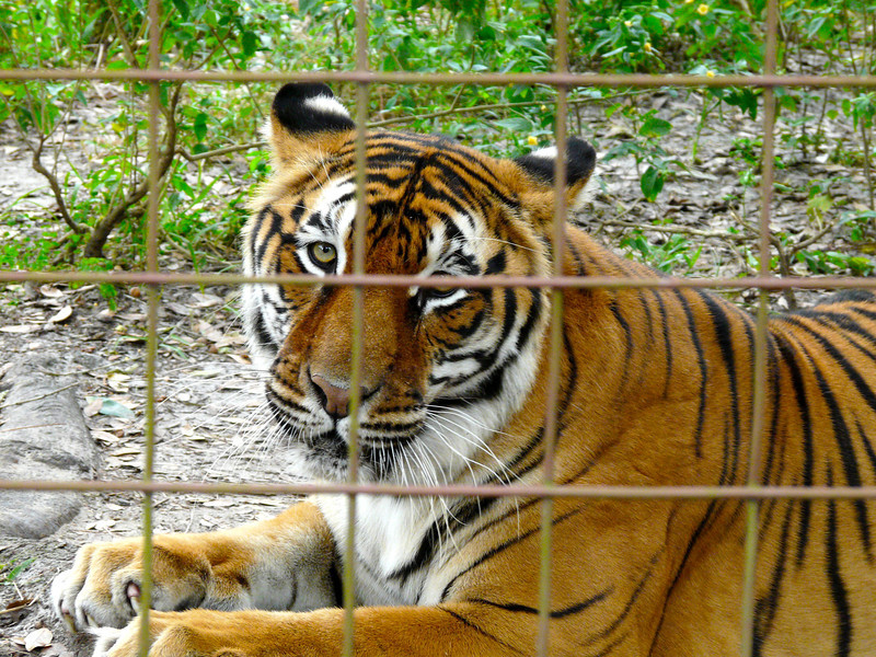 Bengal Tiger at Big Cat Rescue