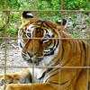 Bengal Tiger at Big Cat Rescue