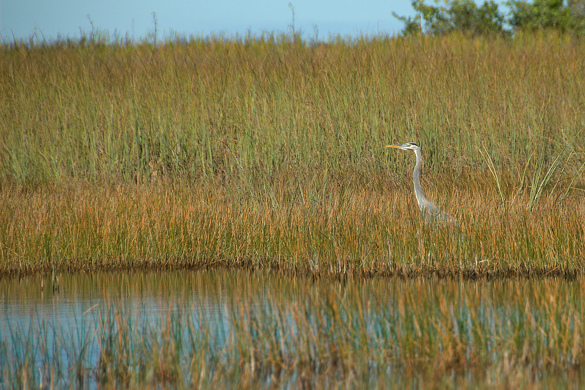 Bird in the grass, Everglades National Park, Florida