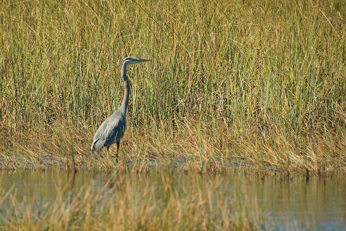 Great Blue Heron in Everglades National Park, Florida