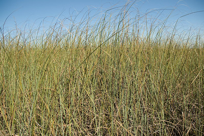 A view of vast sawgrass expanse in Everglades National Park, Florida