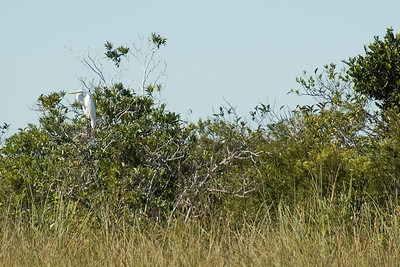 White ibis resting on a branch in Everglades National Park, Florida