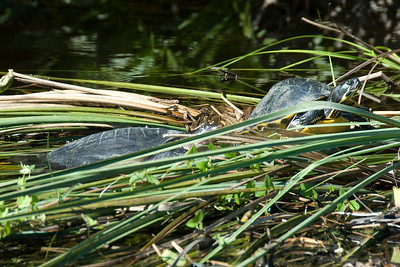 Tortoise in Everglades National Park, Florida