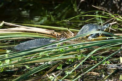 Tortoise in Everglades National Park, Florida