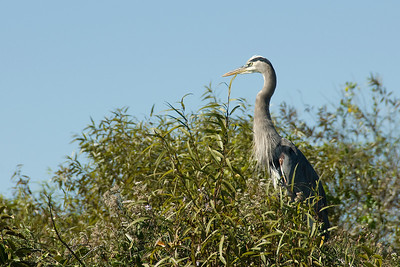 Heron resting on a tree branch in Everglades National Park, Florida