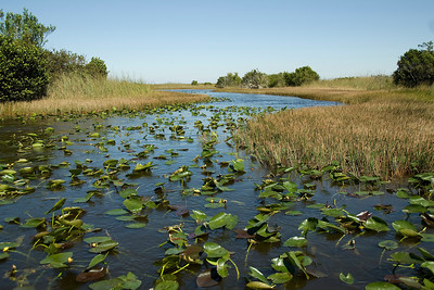 Swamp filled with lotus in Everglades National Park, Florida