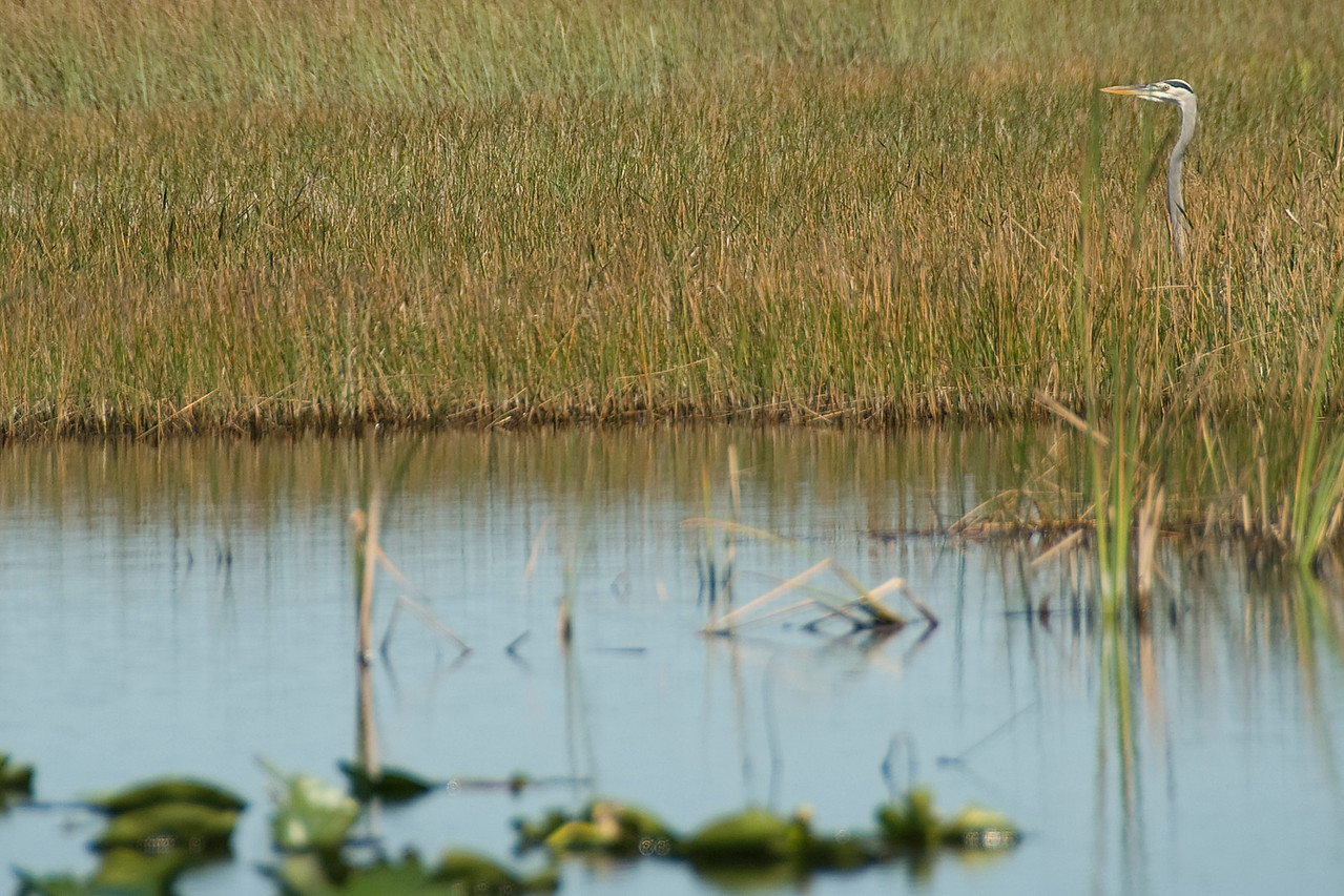 White ibis amongst swamp and sawgrass in Everglades National Park, Florida