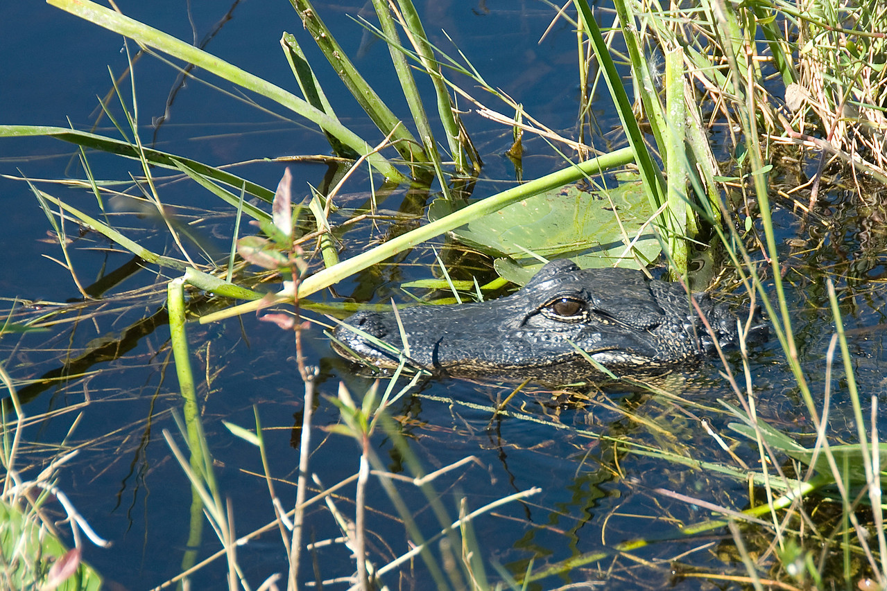 Alligator in the swamp of Everglades National Park, Florida