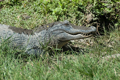Alligator in the freshwater slough and prairies of Everglades National Park, Florida
