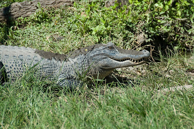 Alligator in the swamps of Everglades National Park, Florida