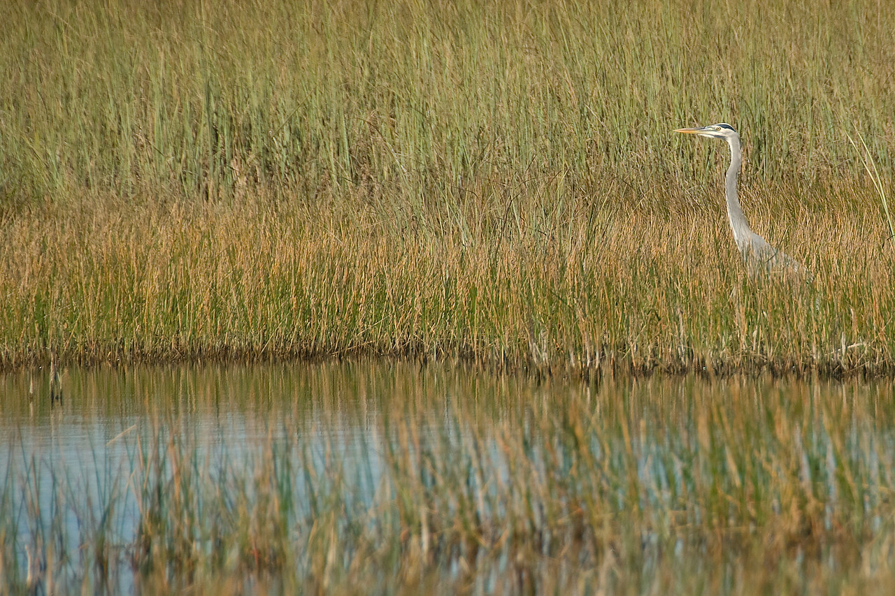 White ibis amongst thick sawgrass in Everglades National Park, Florida