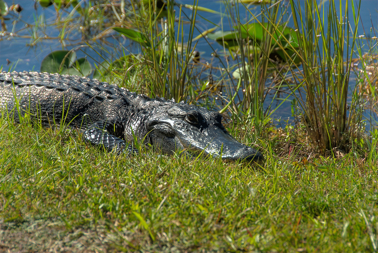 Alligator in the swamp and prairie of Everglades National Park, Florida