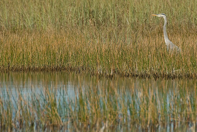 White ibis in the swampy area of Everglades National Park, Florida