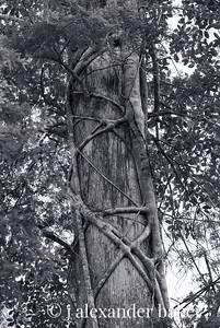 Strangler Fig II