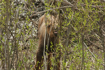 Moose calf!!