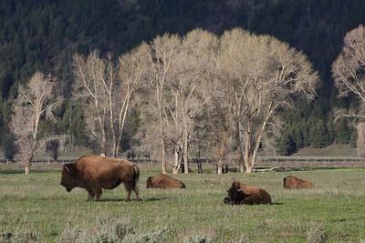 Very common scene in Grand Teton -  Bison (or buffalo)