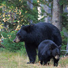 Black bears, Grand Teton