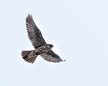 Gyr falcons are pan-arctic and happy to glide overhead looking for any small shore birds they might dine on
