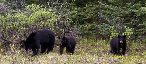 Black Bear (99631370)