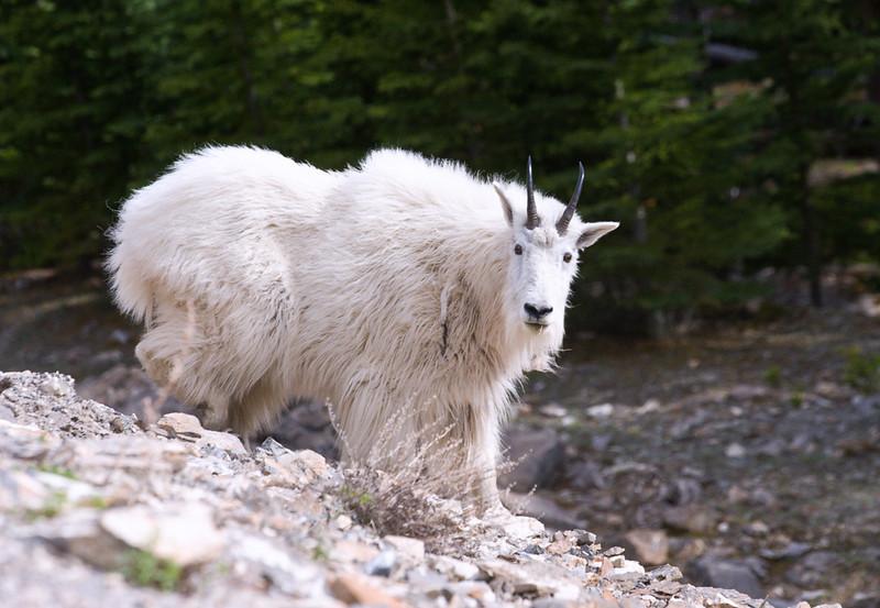 Mountain Goat (99631371)