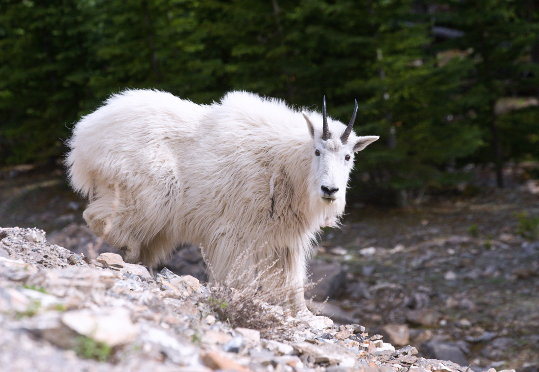 Mountain Goat (99631371)