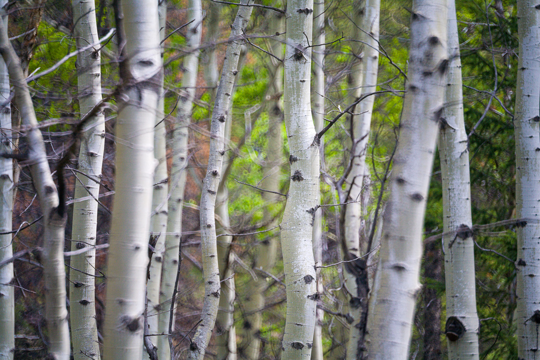 Aspen forest near Patricia Lake (99631663)