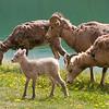 Sheep at Medicine Lake (99631668)