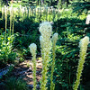 Bear grass near Lily Lake on Elk Meadows Road