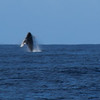 First of many humpback whales seen from the boat